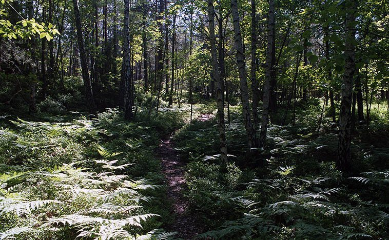 The ancient primeval boreal forest on the outskirts of Stockholm, protected nature preserve -- photo by Mark Weber mid-afternoon June 2, 2o16 -- When the glaciers of the Ice Age retreated circa 10,000 years ago these alpine forests popped up of tall straight pines (with bark like a ponderosa), alm (wych elm), lind (small-leaved lime), lonn (maple), bok (beech), ask (ash), bjork (birch), birds, doves, crows, deer, dragon flies, grassy meadows, creeks (vik), didn't see any squirrels -- Consequently, Homo sapiens didn't move into Scandinavia until about 7,500 years ago (Homo sapiens first migrated into Europe 46,000 years ago) and before that the Neanderthals were around and about for 400,000 years but they didn't do the boat thing so they never crossed the Baltic to Sweden, as well the ice was not a little bit forbidding). Homo sapiens had boating technology in a high degree -- the forests of Europe were so thick and full of bears and suchlike it was smarter to use the rivers to get around.