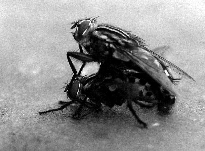 Mating_flies
