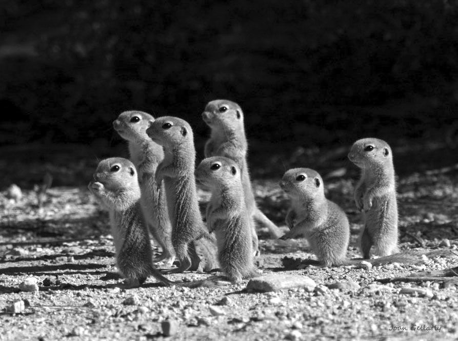 Prairie-Dog-Puppies