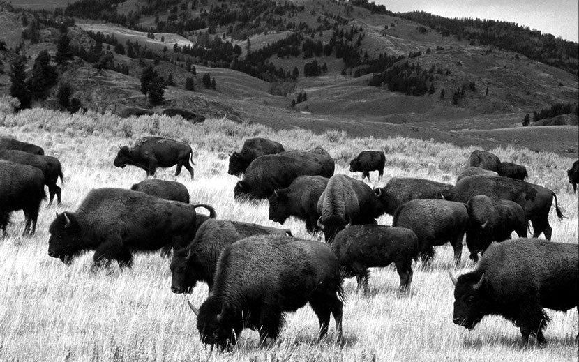 fiches-animaux-bison