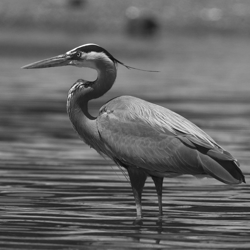 great-blue-heron1