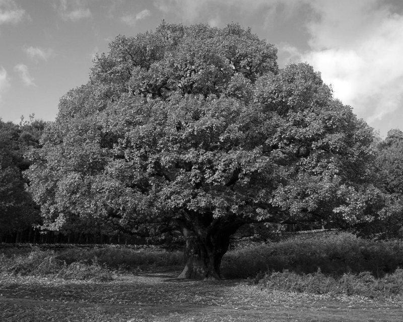 oak-007